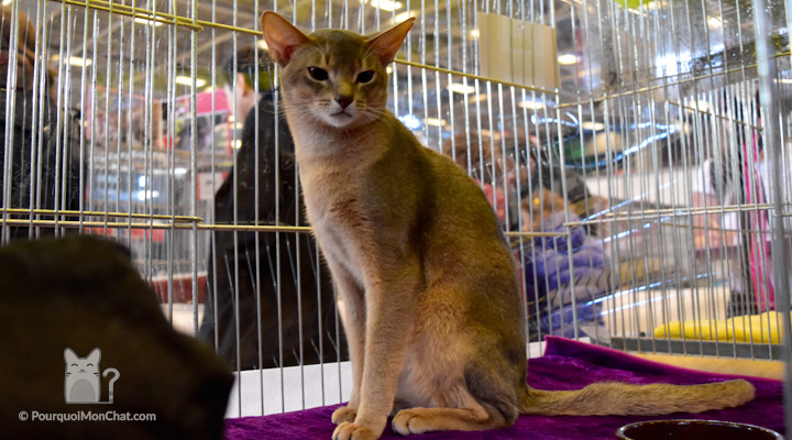 chat abyssins